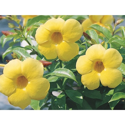 2 Gallon Yellow Allamanda Bush Flowering Shrub In Pot L3415 At