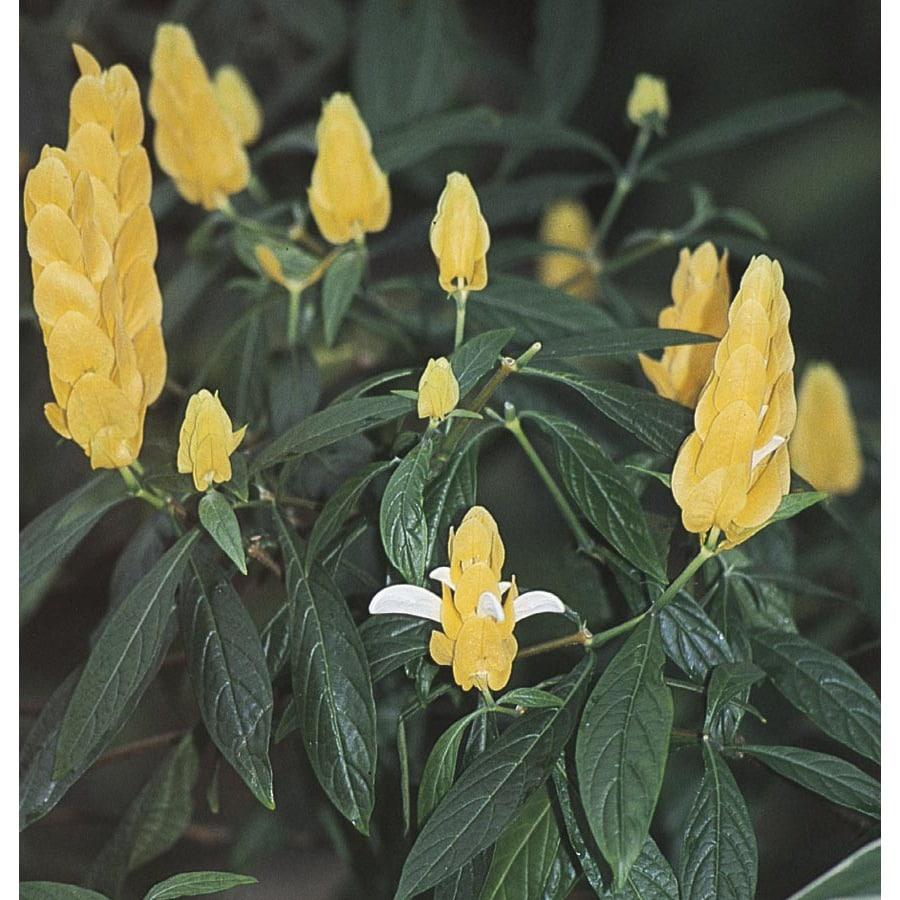 2.25-Gallon Yellow Shrimp Plant (L9762)