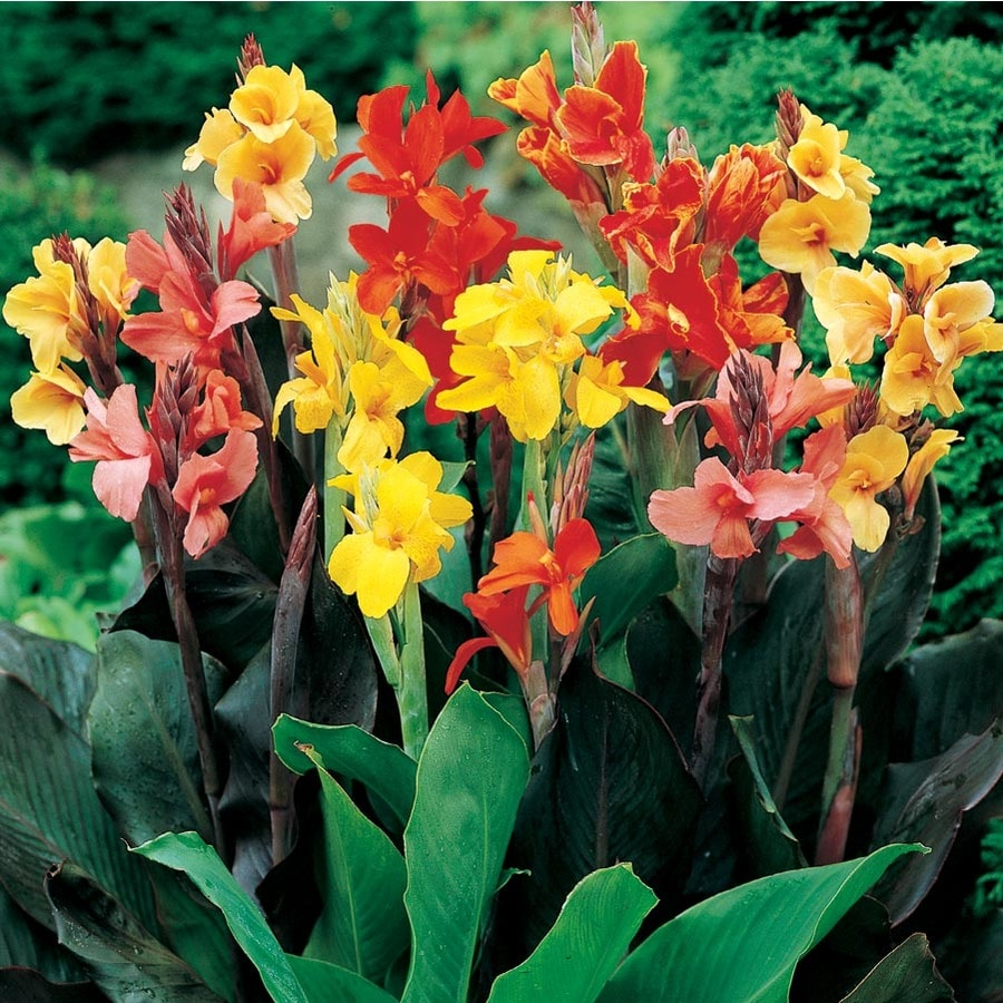 2 Gallon Planter Mix Canna Lily Lb3461b At Lowes Com