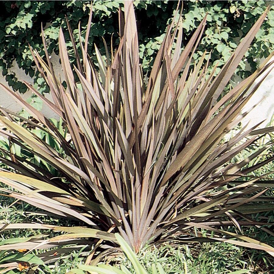 2.5-Quart New Zealand Flax (L11837)
