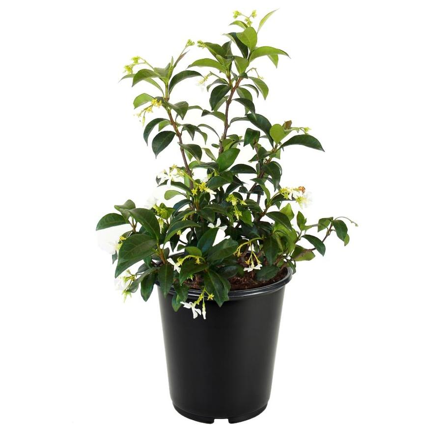 2-Quart White Confederate/Star Jasmine Flowering Shrub (L9595)