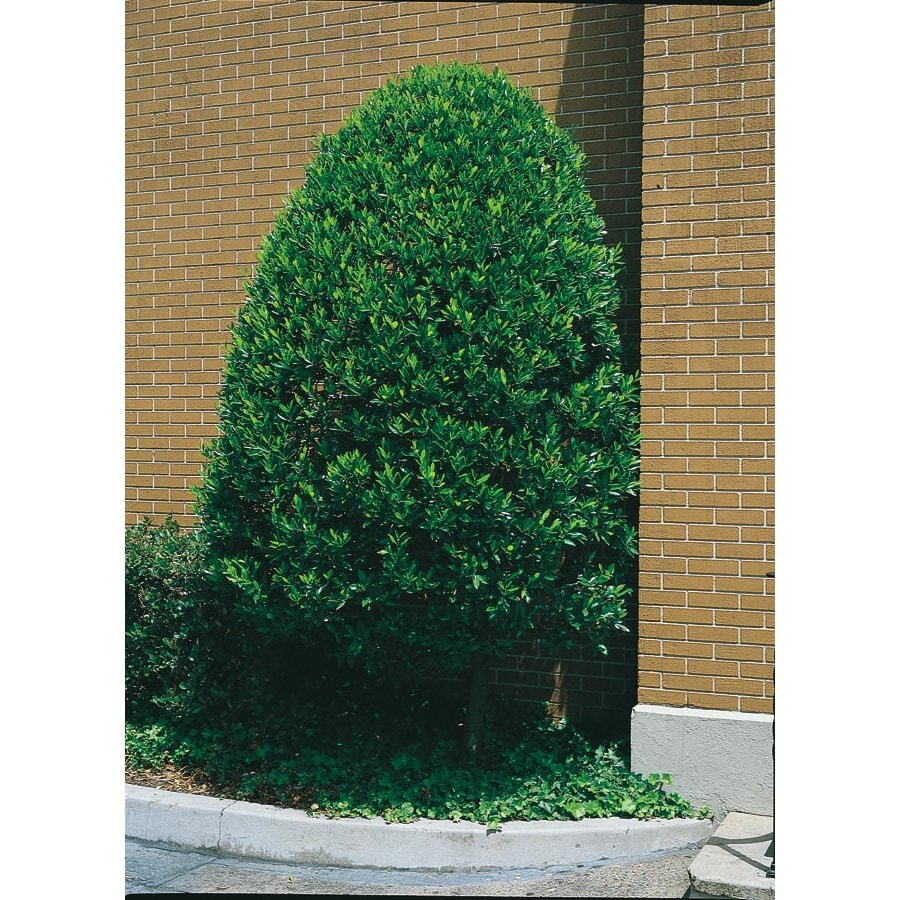 2.5-Quart White Compact Cherry Laurel (L5132)