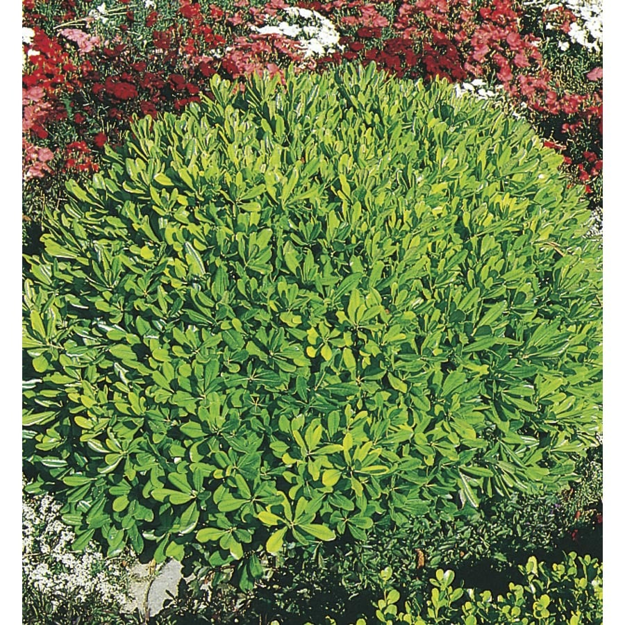 2-Quart White Wheeler's Dwarf Pittosporum Foundation/Hedge Shrub (L14424)