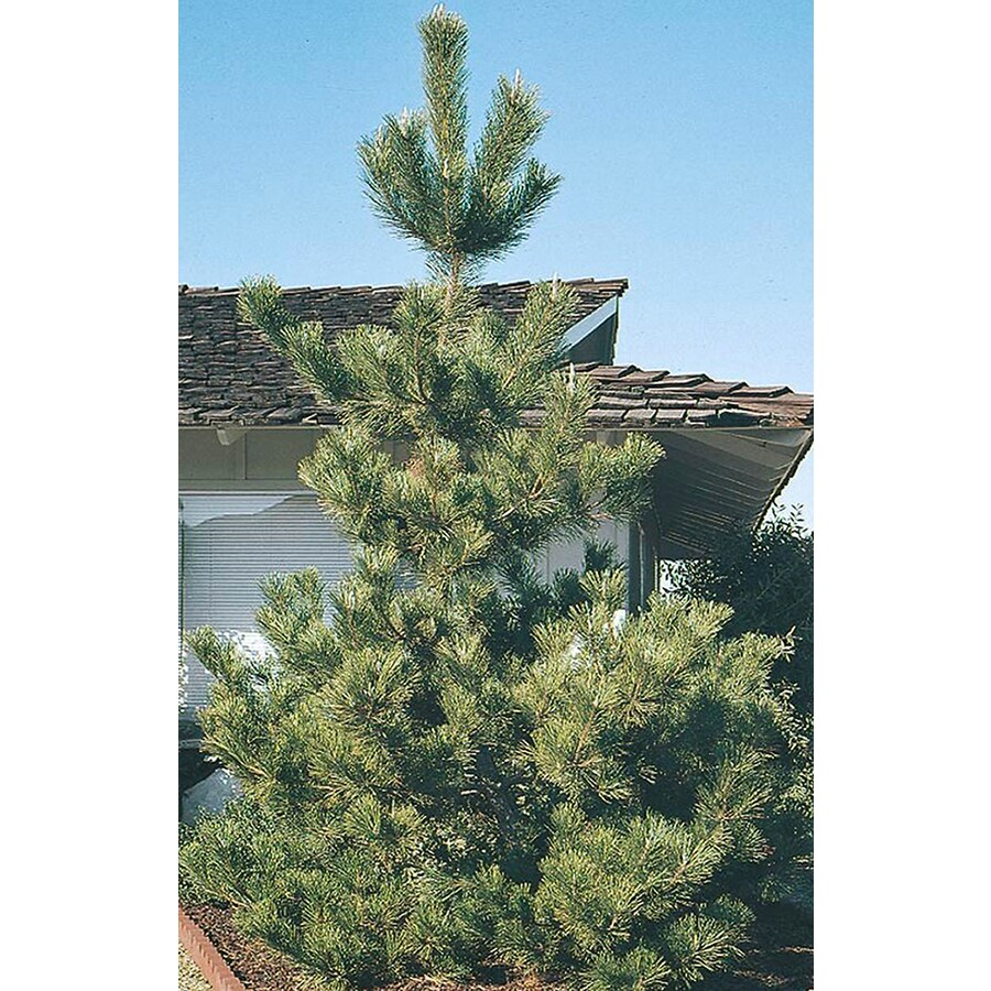 3.25-Gallon Japanese Black Pine Feature Tree (L1060)