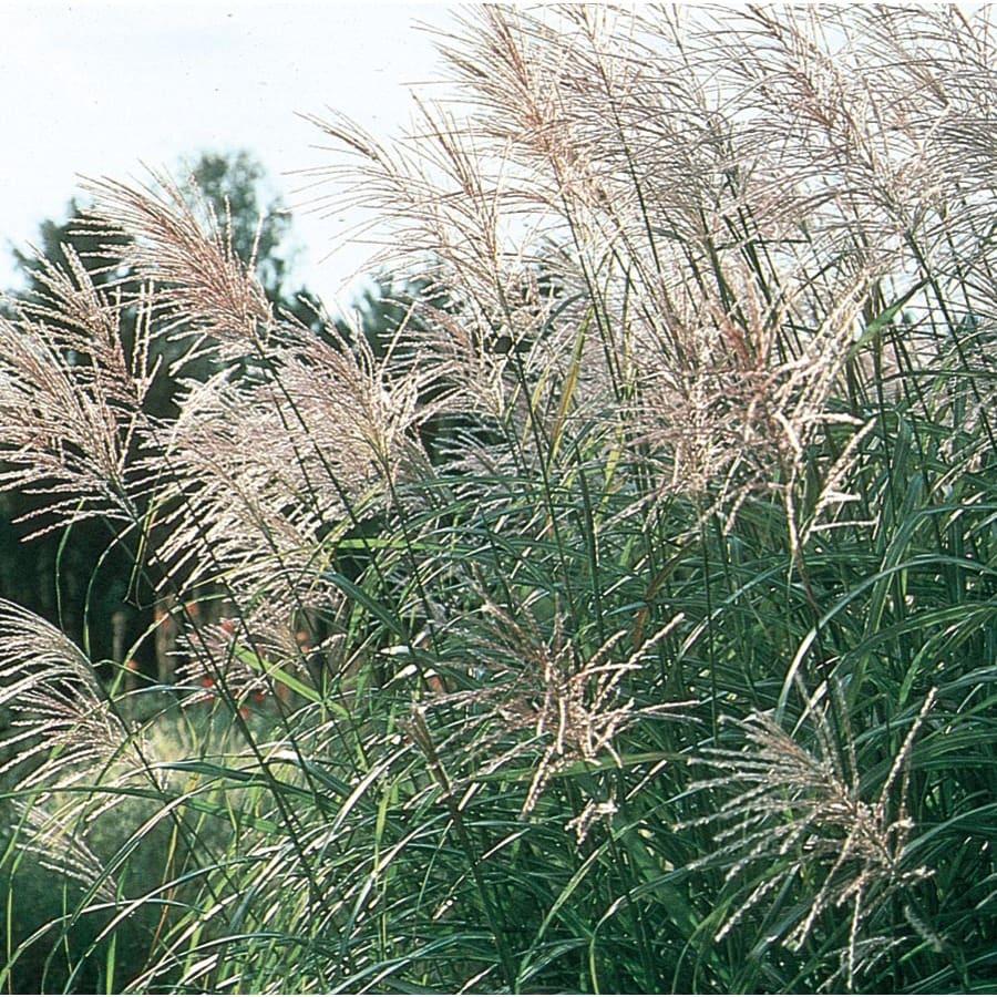3.25-Gallon Eulalia Grass (L3912)