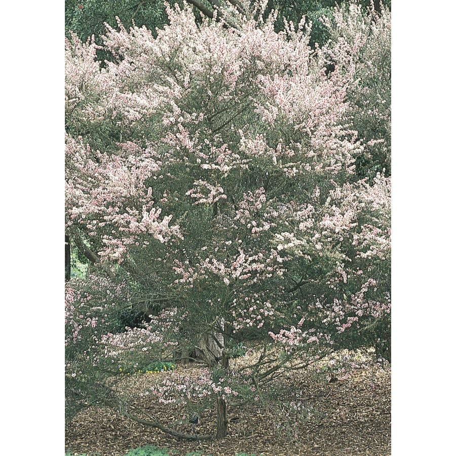 2.5-Quart Tea Tree Flowering Tree (L14380)