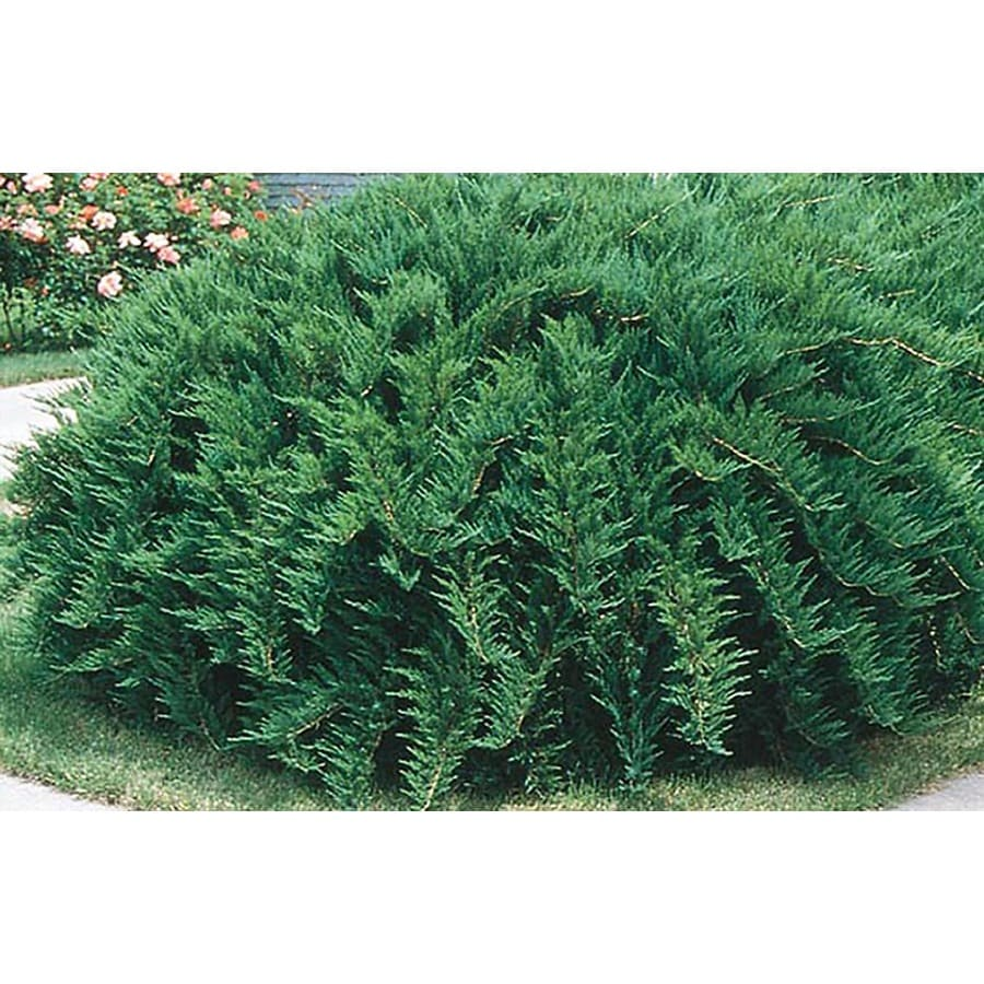 3-Gallon Tam Juniper Accent Shrub (L3042)