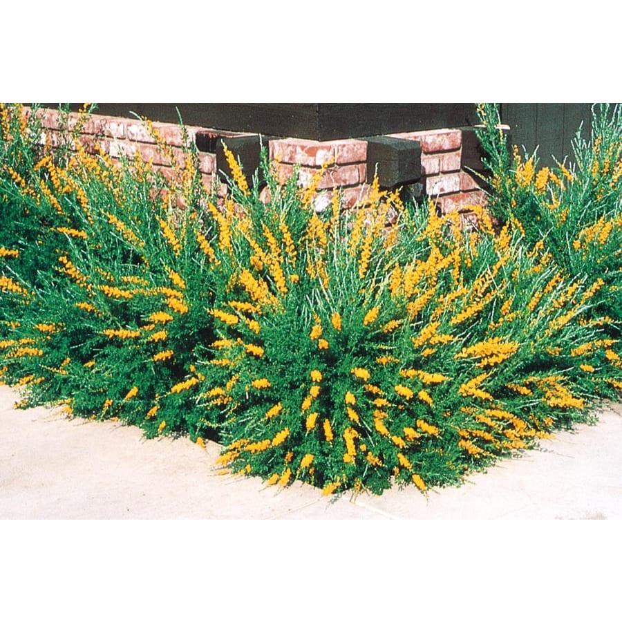 3-Gallon Orange Sweet Broom Accent Shrub (L3064)