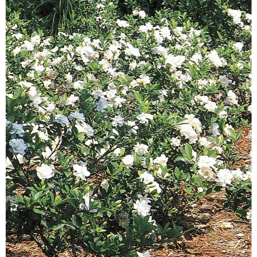 2-Quart White Gardenia Flowering Shrub (L5150)