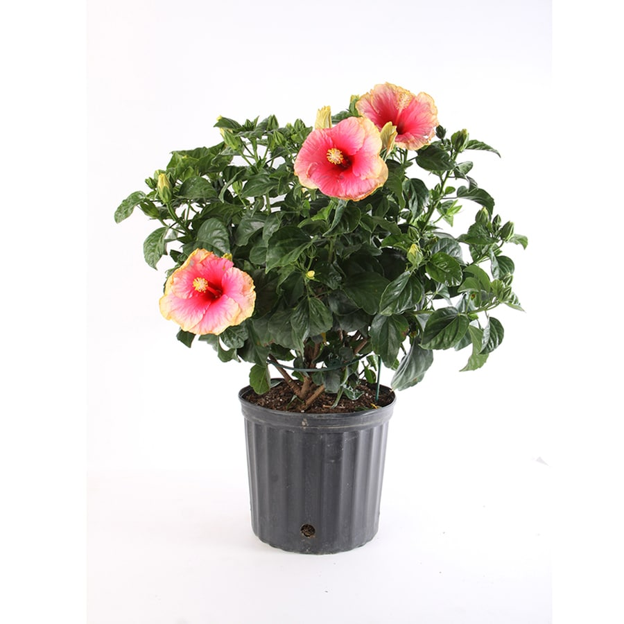 Shop 2 gallon multicolor hibiscus flowering shrub l10437 at lowes 2 gallon multicolor hibiscus flowering shrub l10437 izmirmasajfo