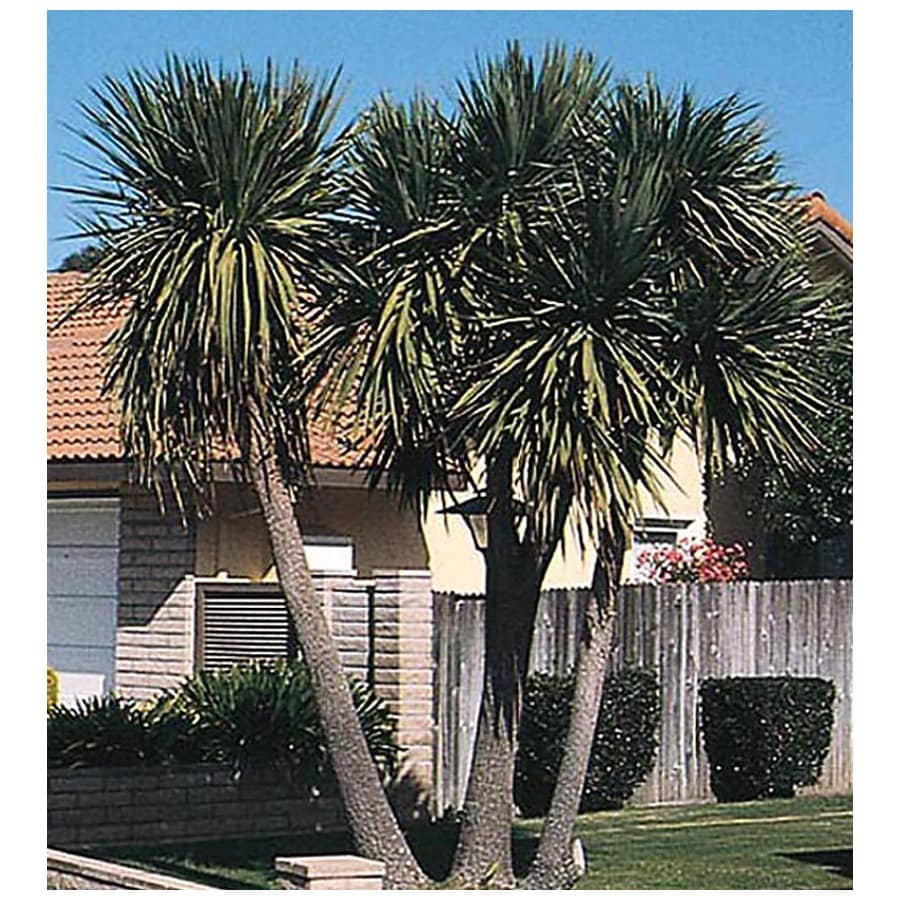 3.25-Gallon Blue Dracaena (L5681)