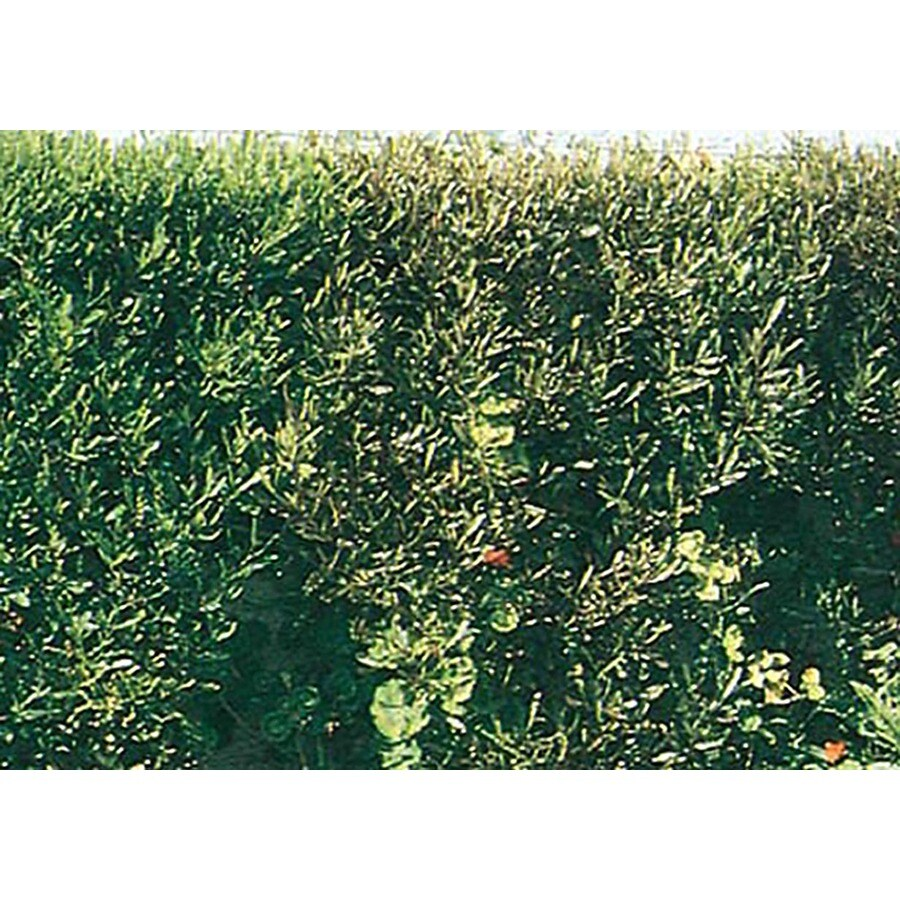 3-Gallon White Hopseed Bush Screening Shrub (L14895)