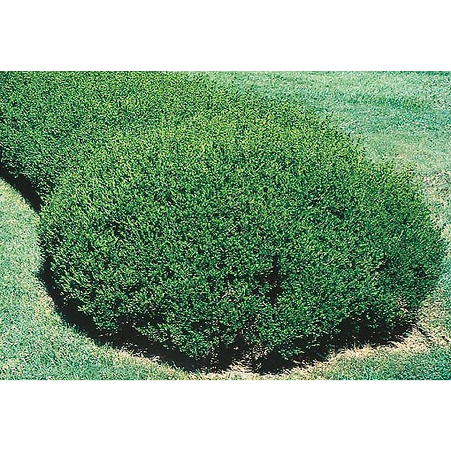 3.25-Gallon Green Beauty Boxwood Foundation/Hedge Shrub (L3841)