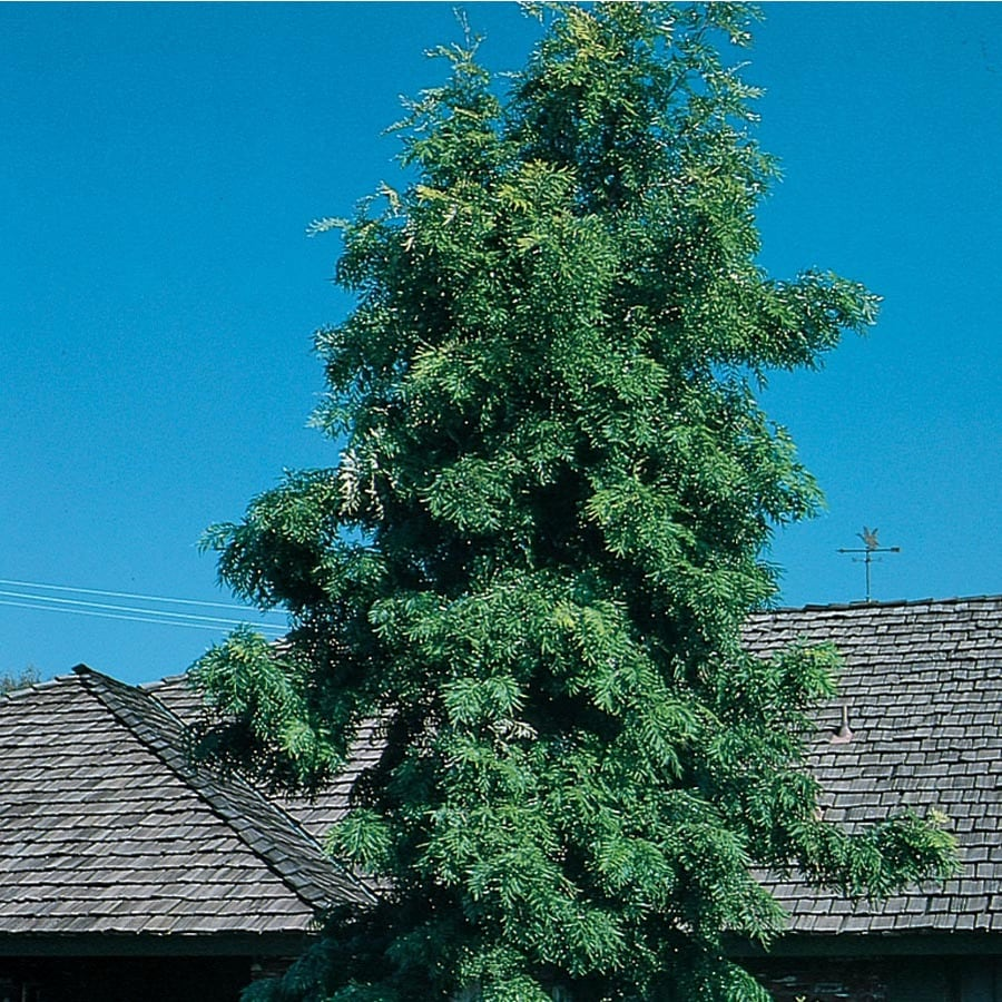 2.5-Quart Silk Oak Tree Shade Tree (L6315)