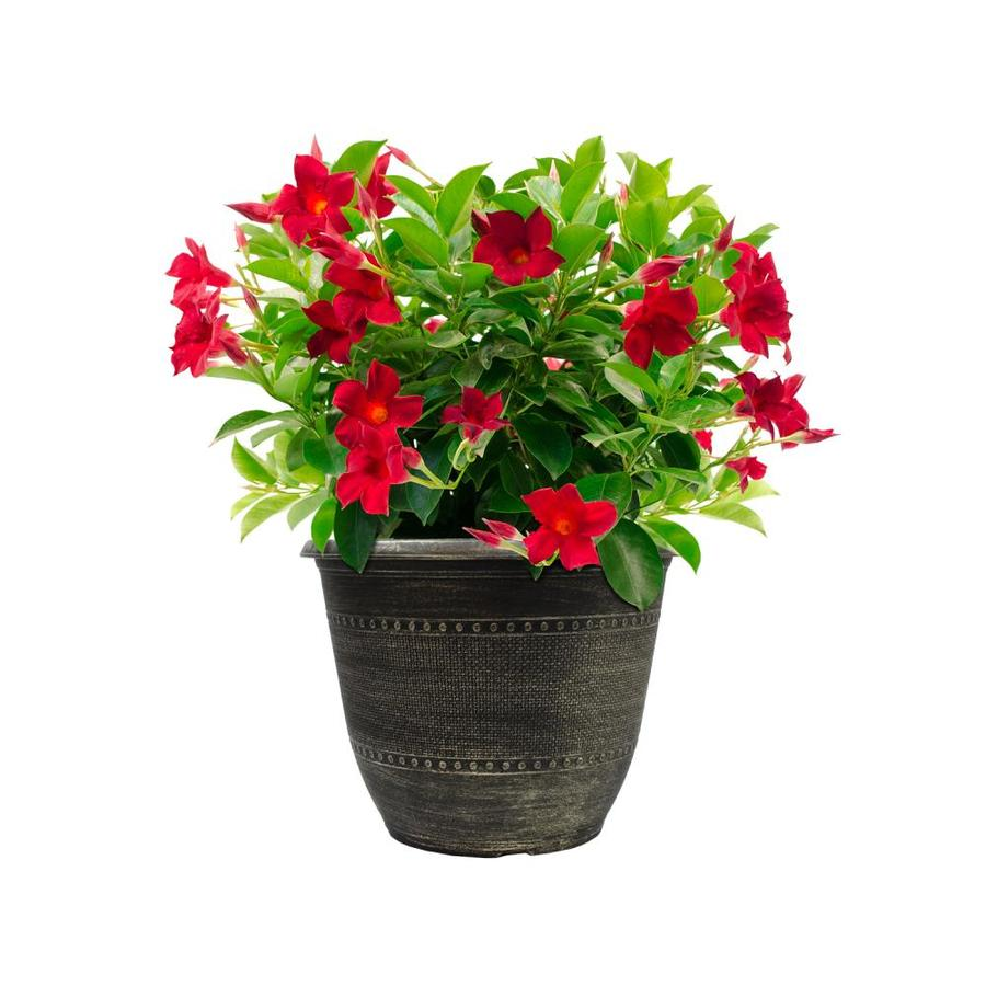 2-Gallon Multicolor Mandevilla Flowering Shrub (L10440)
