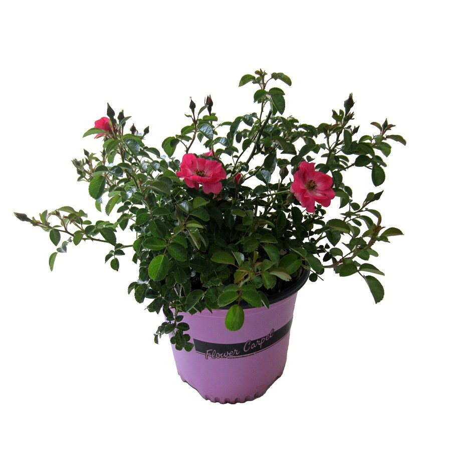 Shop 1 gallon pink rosa flower carpet supreme flowering shrub l7018 1 gallon pink rosa flower carpet supreme flowering shrub l7018 mightylinksfo