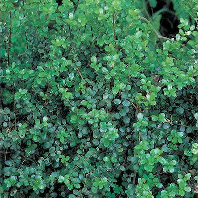 3 Gallon White African Boxwood Foundation Hedge Shrub In Pot