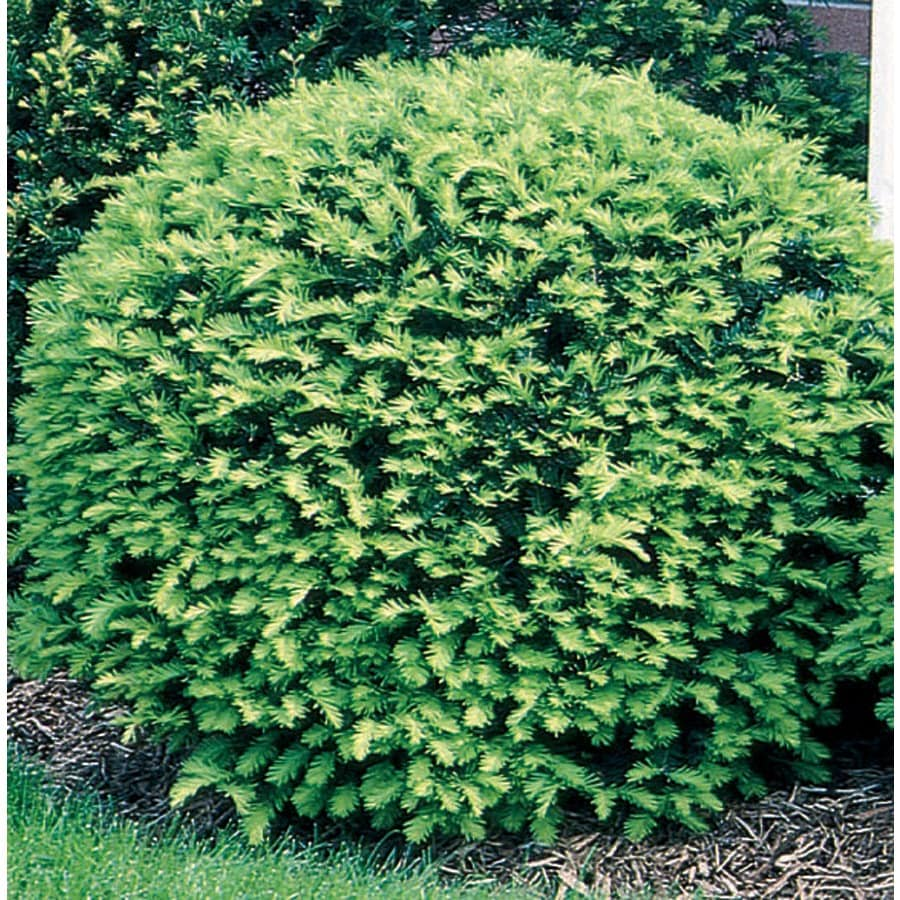 Shop 3 gallon white brown 39 s yew foundation hedge shrub for Garden shrubs