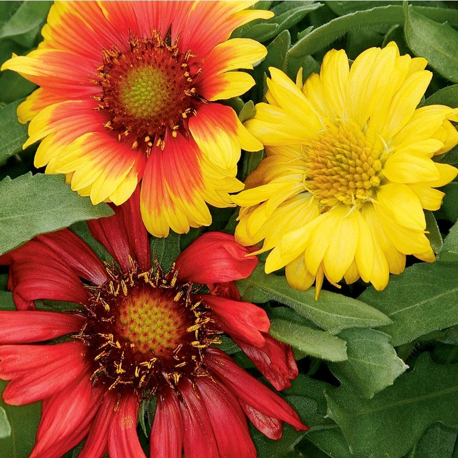 2.5-Gallon Blanket Flower (L10067)