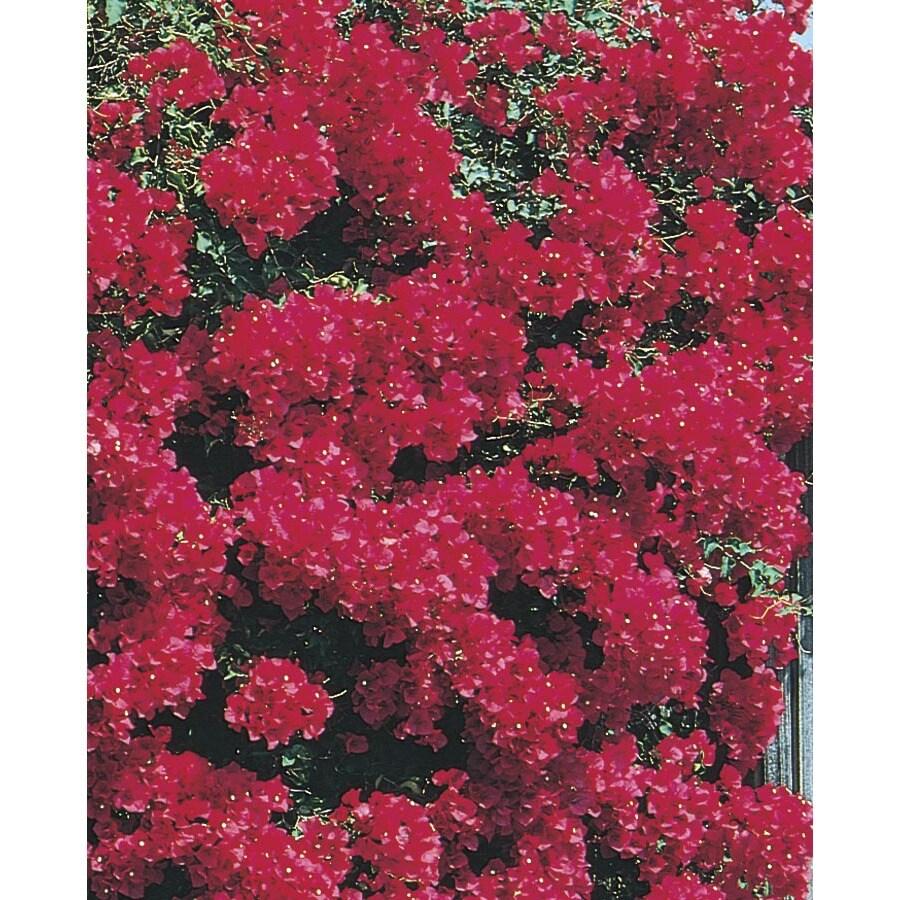3-Gallon Multicolor Bougainvillea Bush Flowering Shrub (L10024)