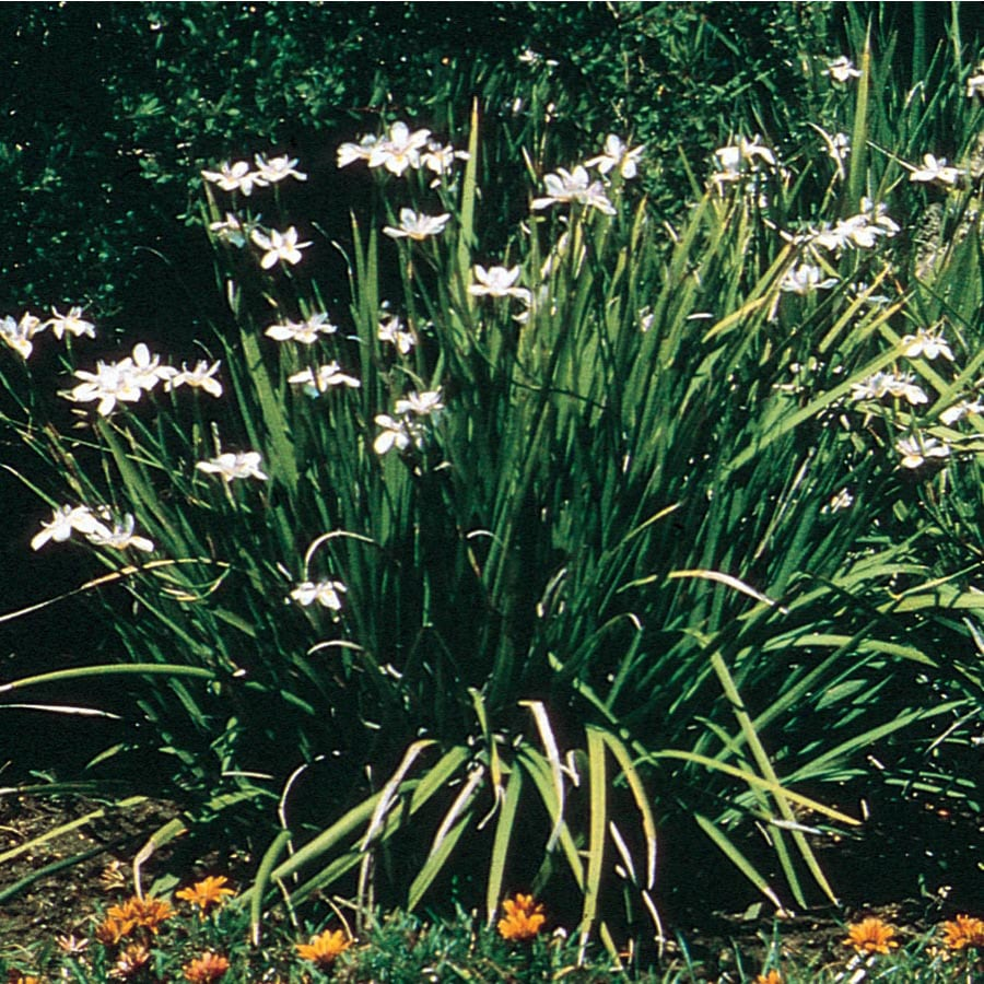 Shop Mixed African Iris Flowering Shrub L3155 At Lowes