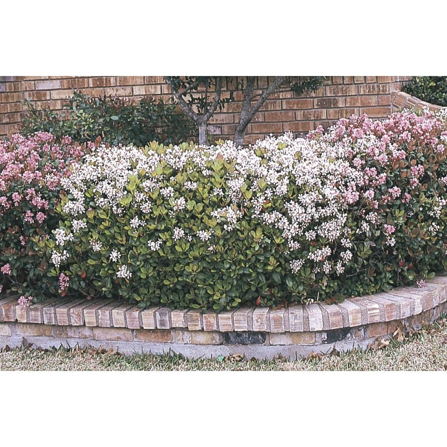 2-Quart Multicolor Indian Hawthorn Foundation/Hedge Shrub (L11166)