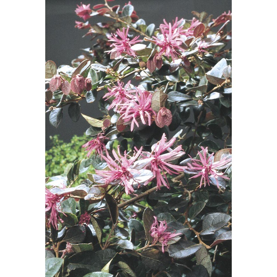 Shop 2 Quart Pink Plum Delight Chinese Fringe Flower Accent Shrub