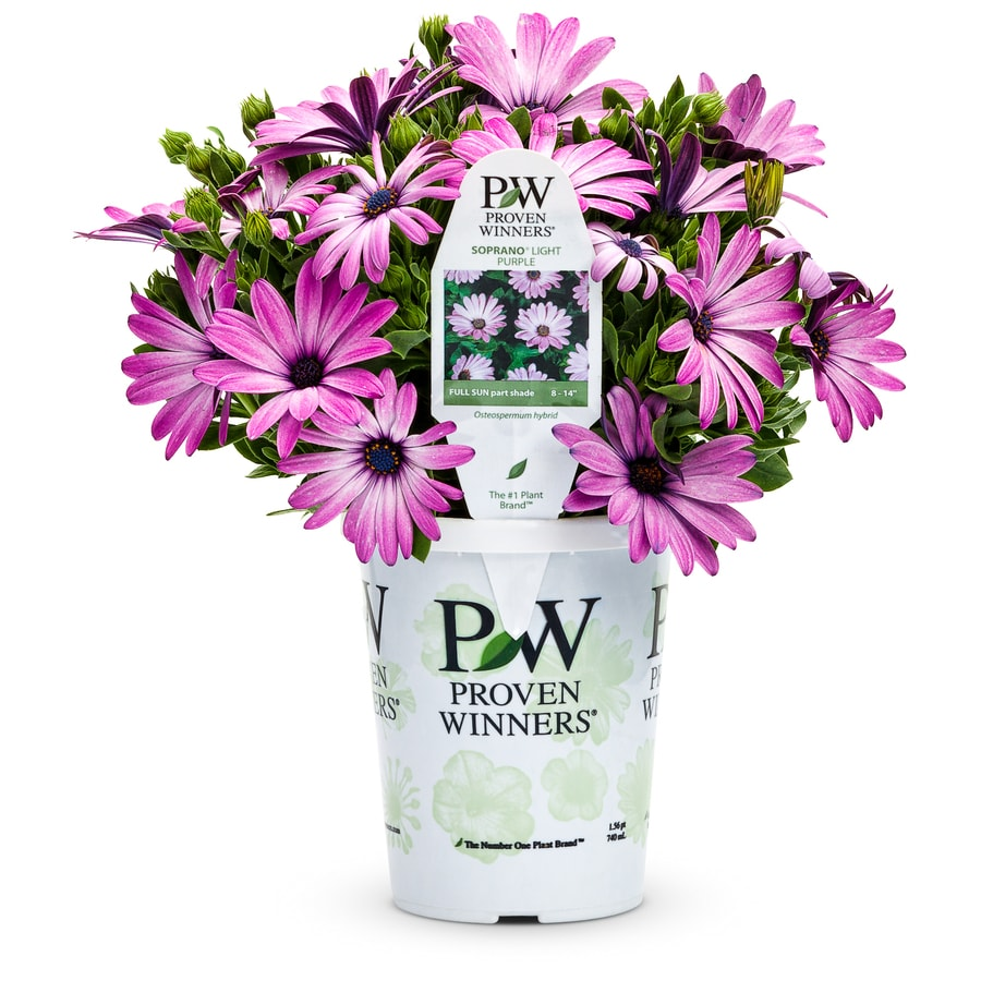 1.56 Pint Temporary Osteospermum
