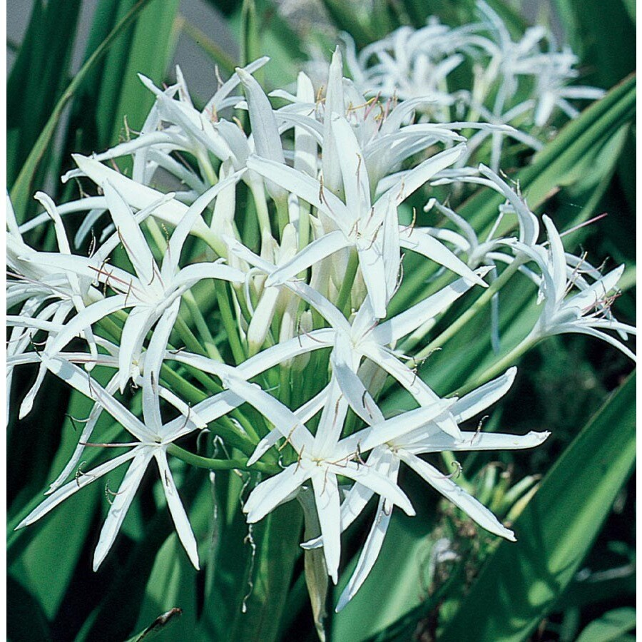 1-Gallon Crinum Lily (L8542)