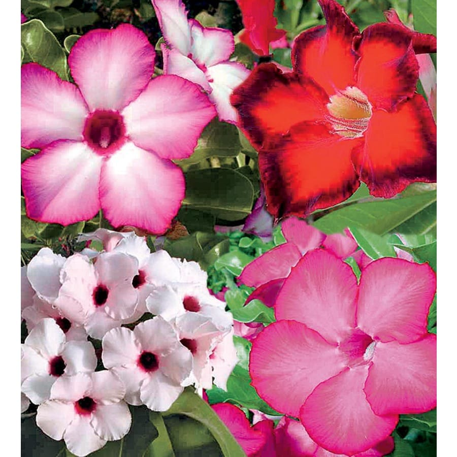 1-Gallon Bicolor Desert Rose Flowering Shrub (L11232)
