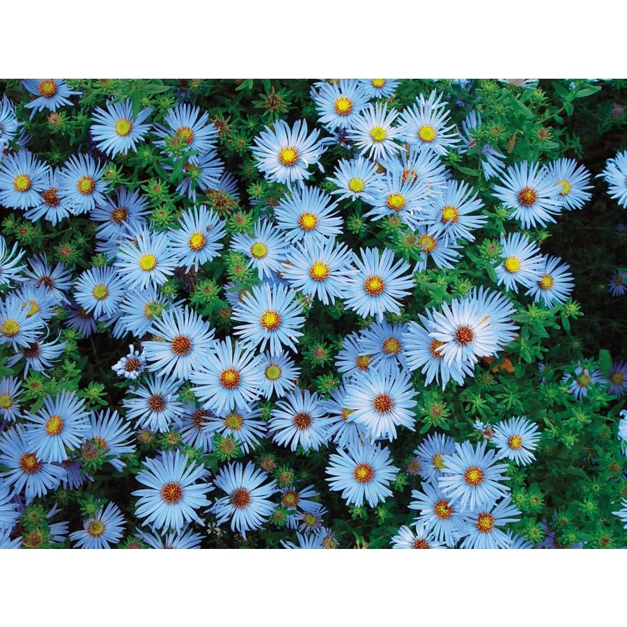 Ferry-Morse Blue Knoll Chrysanthemum (L20013)