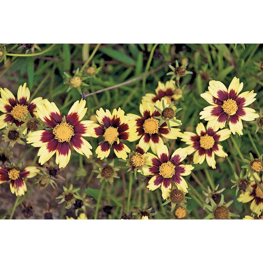 Ferry-Morse Phillippine Chocolate Cosmos (Lsp0077)