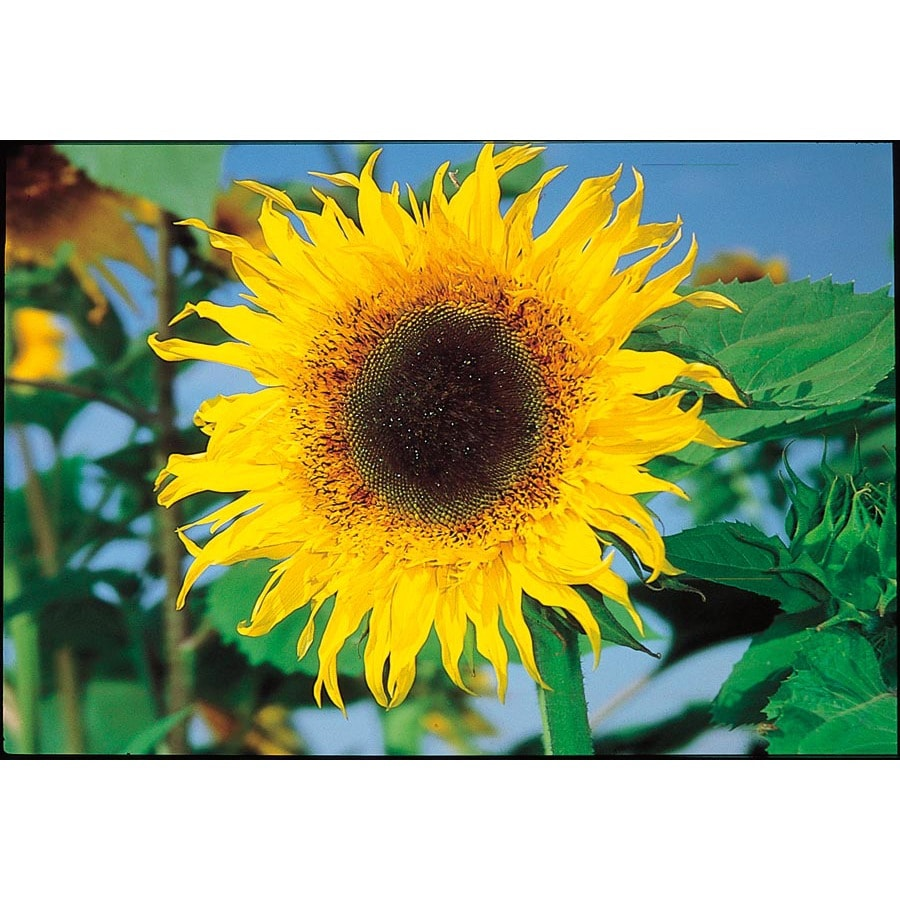 Ferry-Morse Starburst Aura Hybrid Sunflower (L20085)