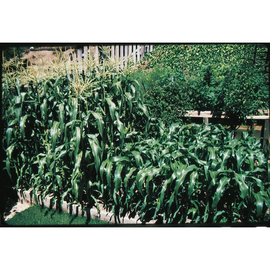 Ferry-Morse Sweet Symphony Sweet Corn Plant (Lsp0076)