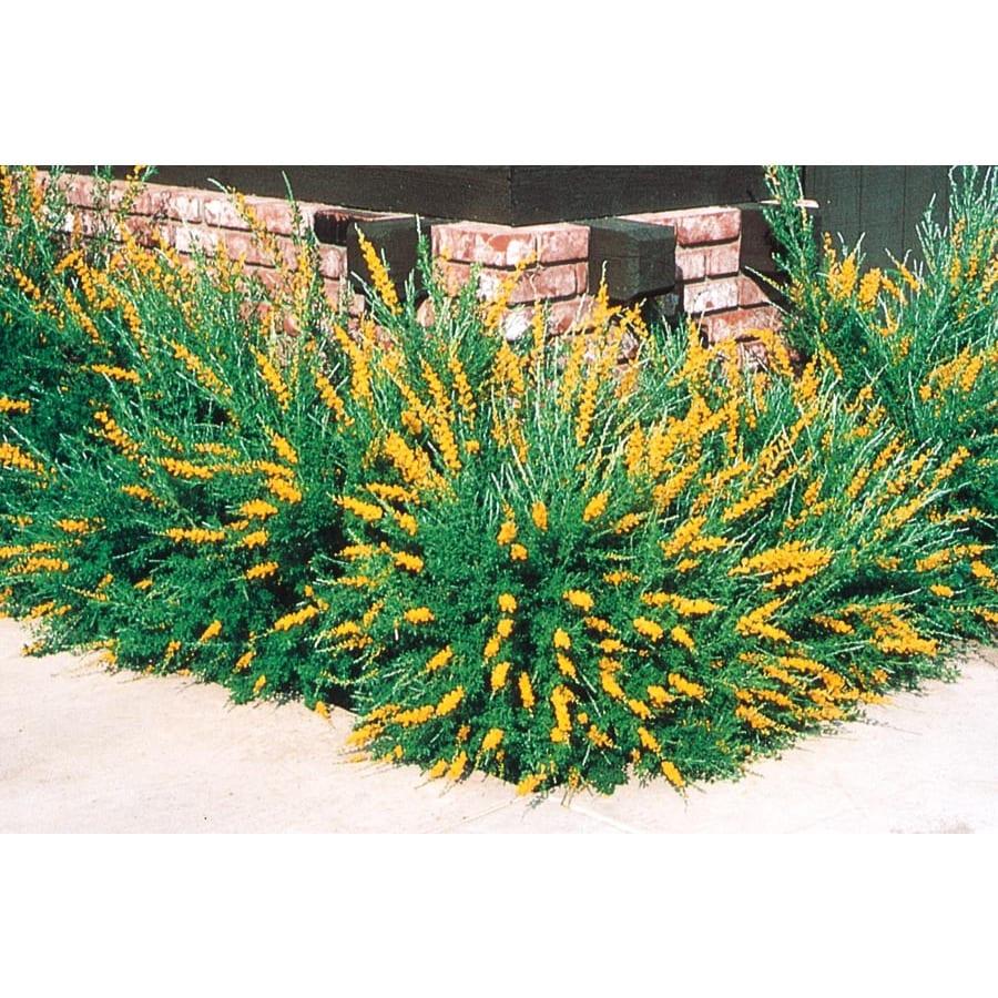 2.5-Quart Orange Sweet Broom (L3064)