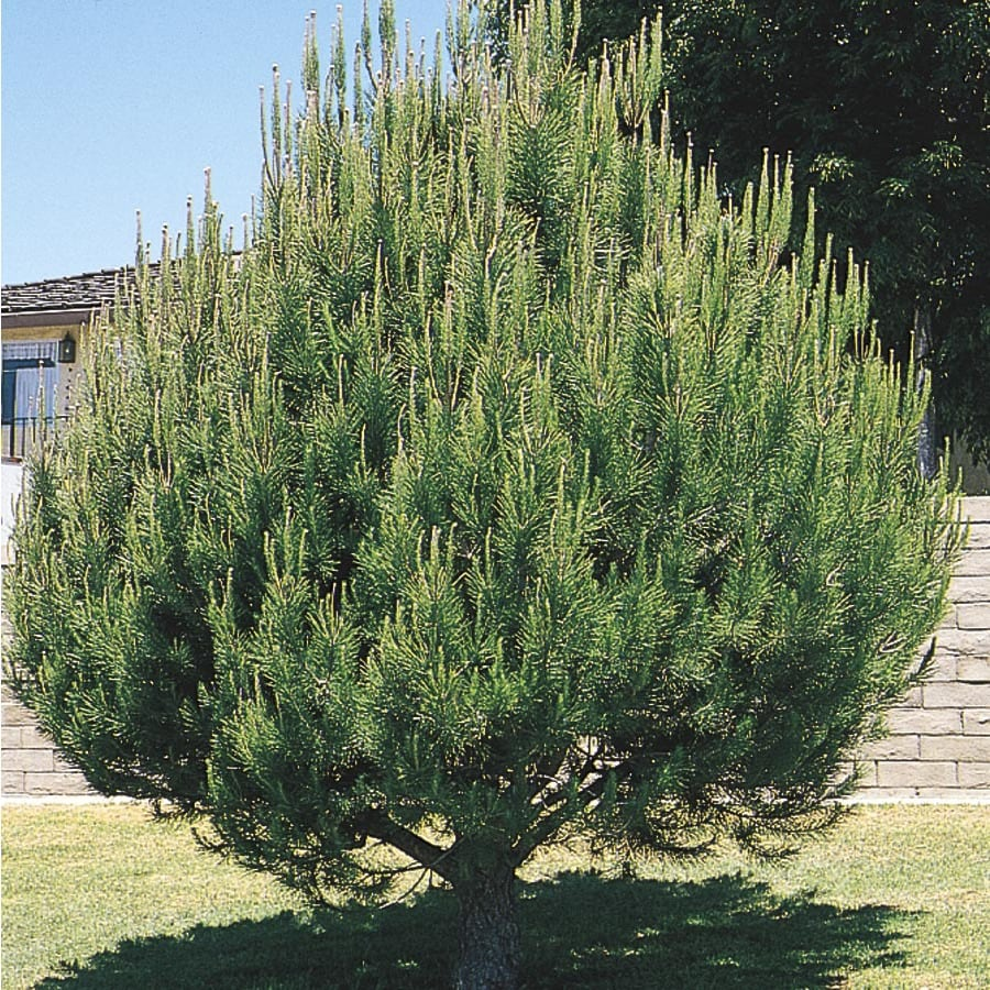 5.5-Gallon Aleppo Pine Feature Tree (L5855)