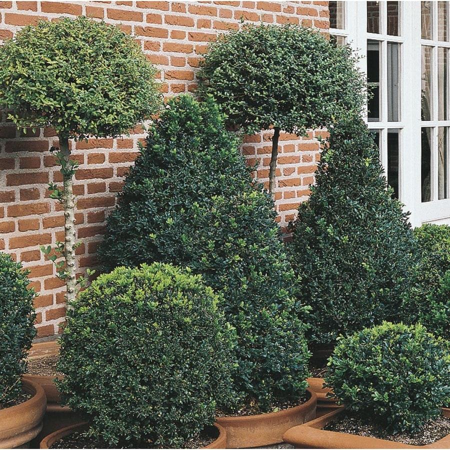 19-Gallon White Topiary Boxwood Feature Shrub (L25855)
