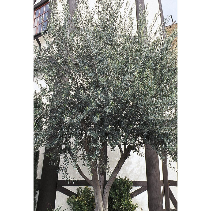 6.09-Gallon European Olive Feature Tree (L14921)