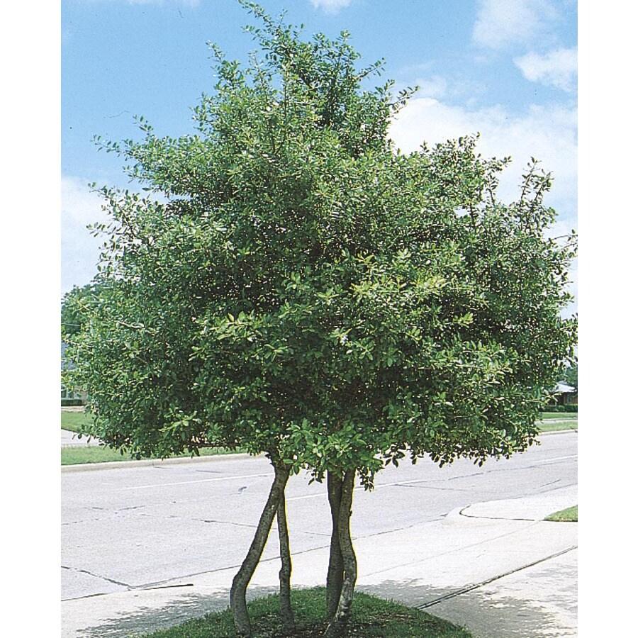shop 27gallon white yaupon holly feature shrub l1005 at