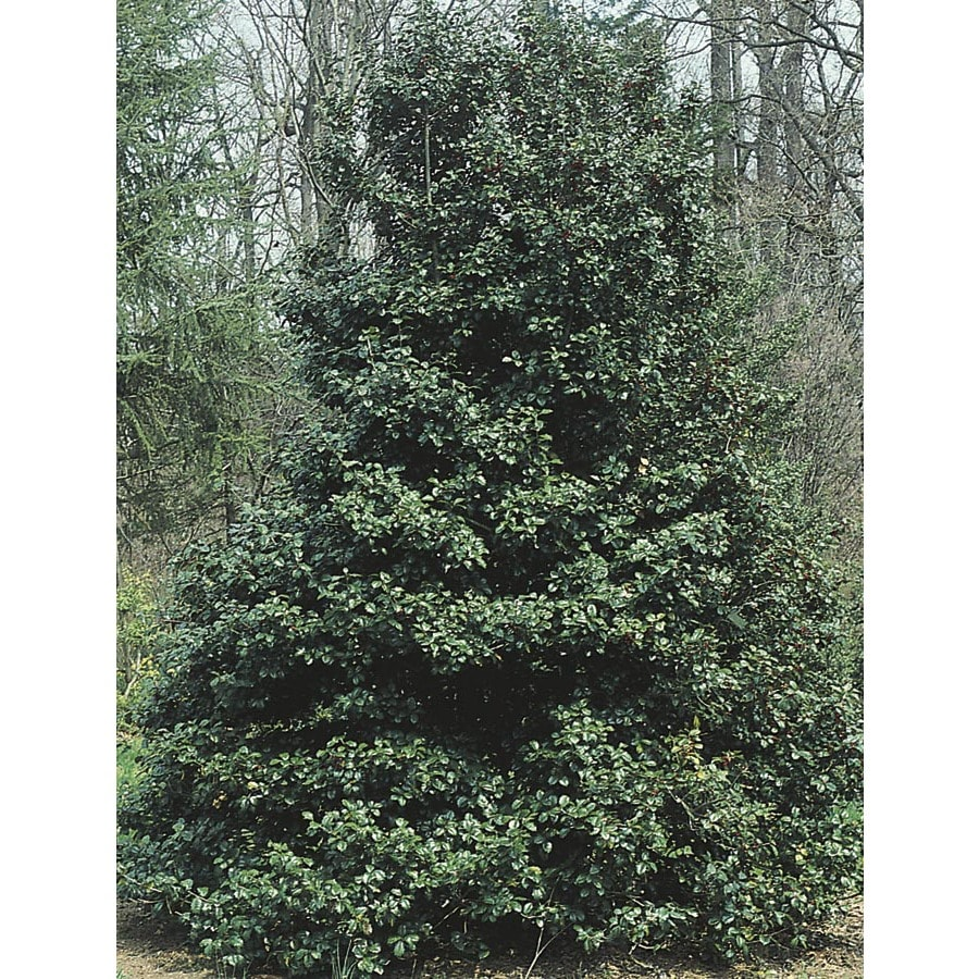 13-Gallon White American Green Leaf Holly Feature Shrub (L7840)