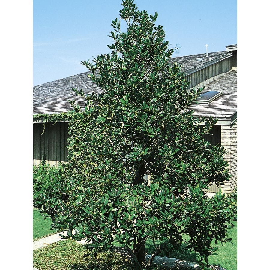 3.74-Gallon Nellie R. Stevens Holly Feature Shrub (L3524)
