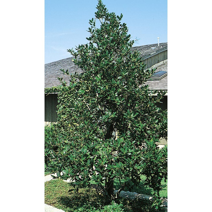 45-Gallon White Nellie R. Stevens Holly Feature Shrub (L3524)