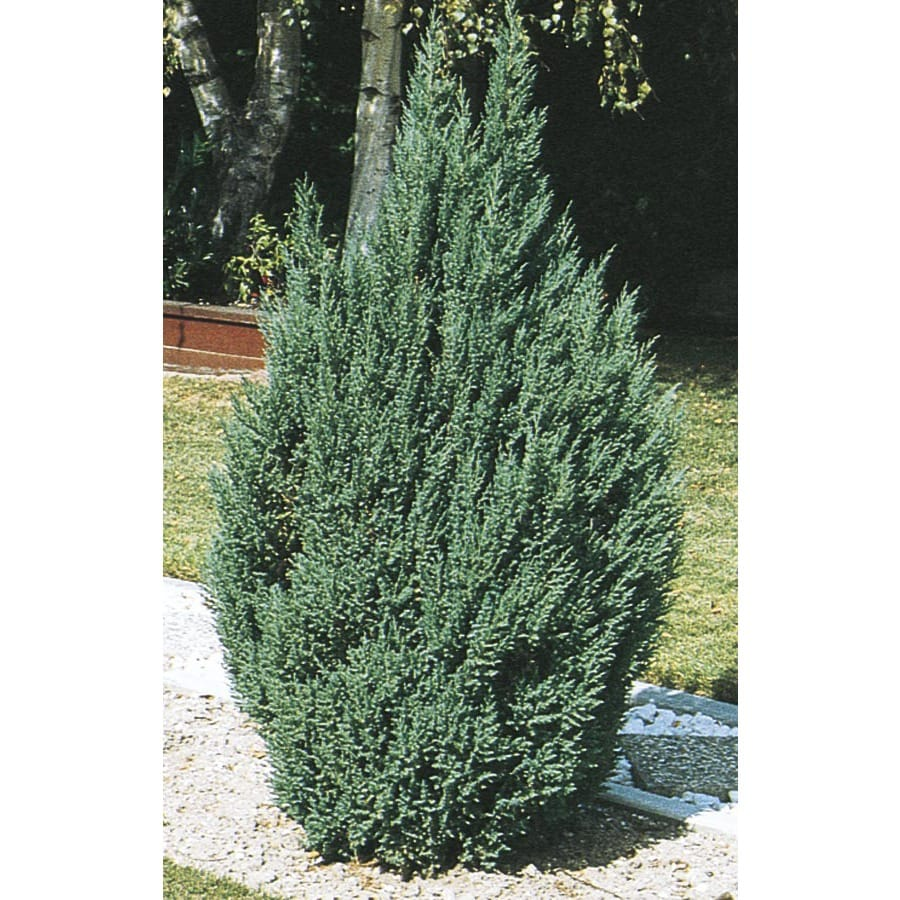 6.09-Gallon Blue Point Juniper Feature Shrub (L3785)