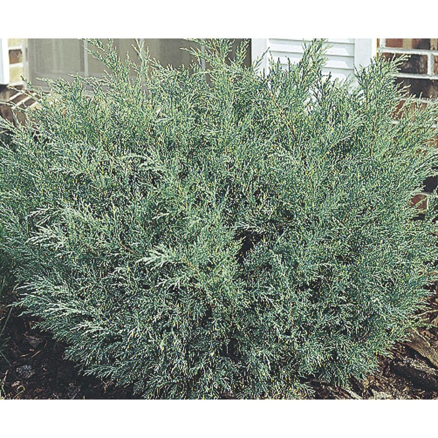 13-Gallon Hetzi Juniper Accent Shrub (L5999)