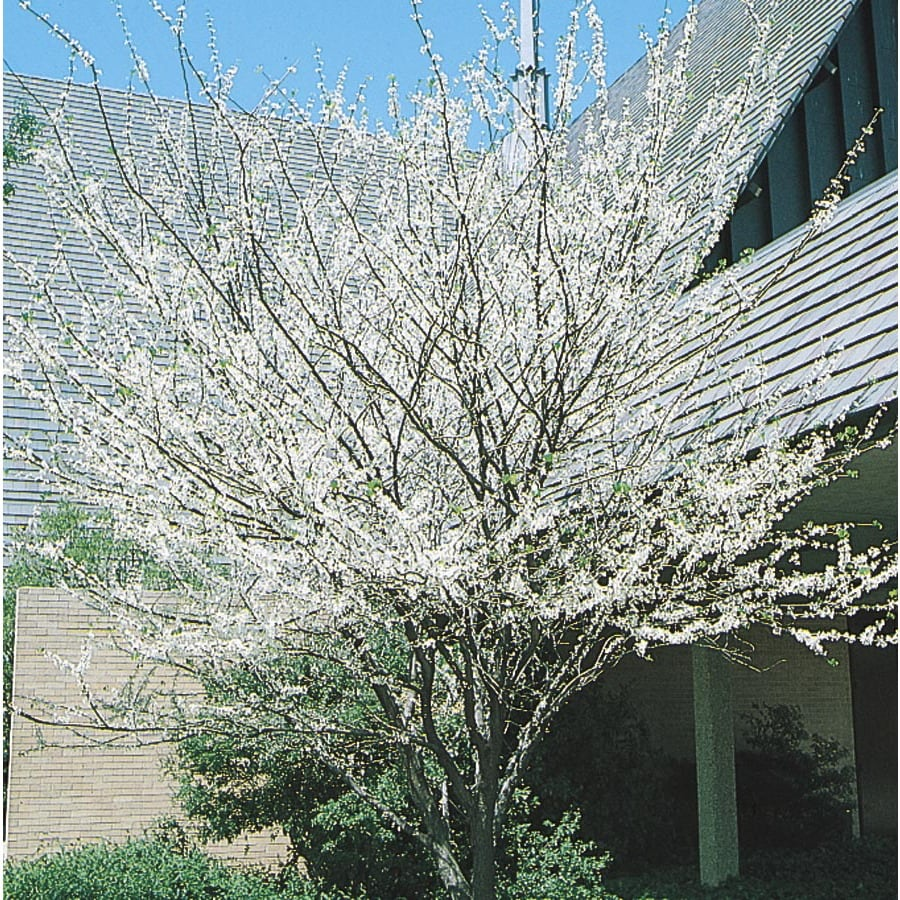 19.59-Gallon Texas White Redbud Flowering Tree (L1030)