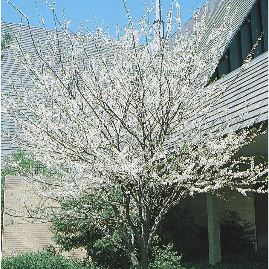 27.17-Gallon Texas White Redbud Flowering Tree (L1030)