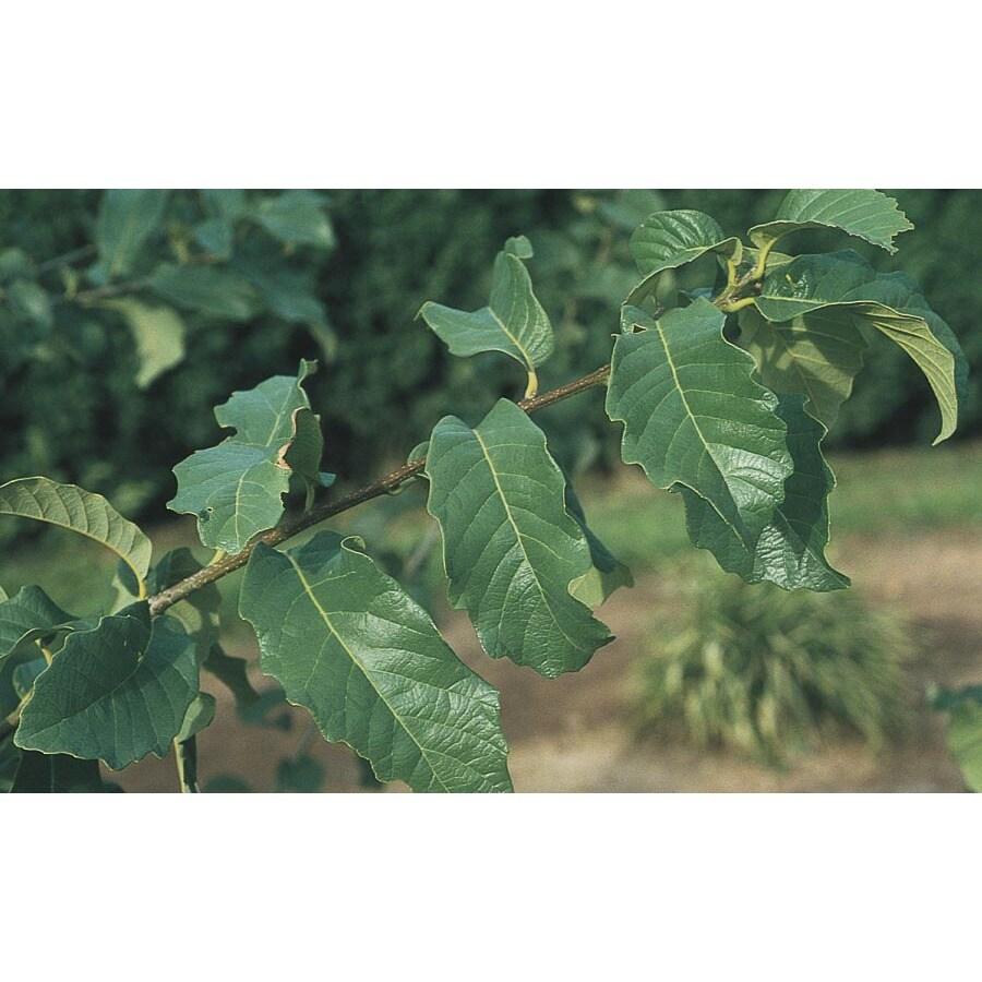19.59-Gallon Monterey Oak Shade Tree (L11189)