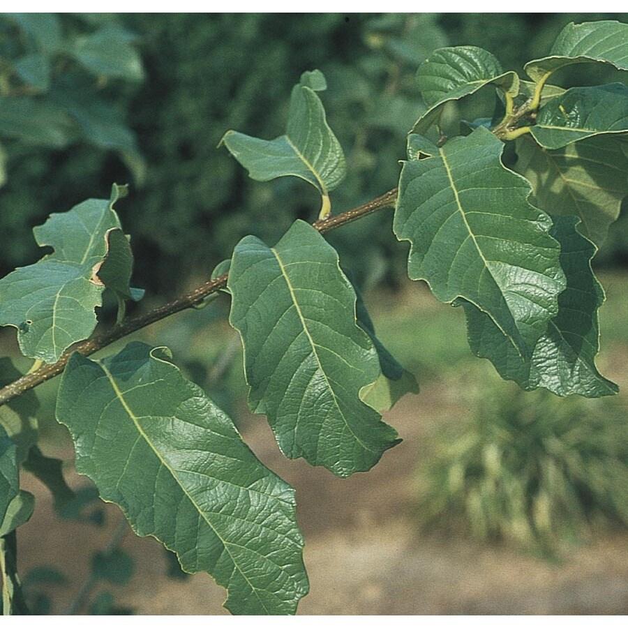 45.28-Gallon Monterey Oak Shade Tree (L11189)