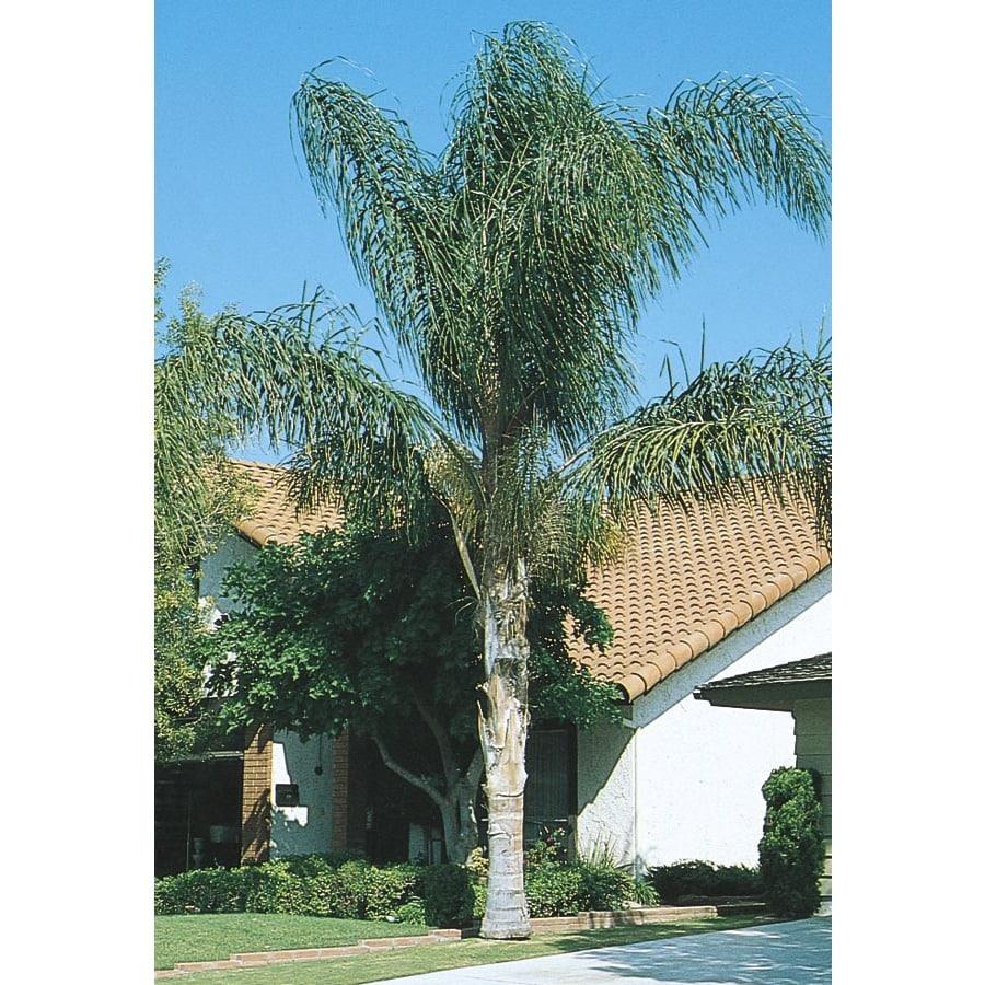 6.09-Gallon Queen Palm (L6258)