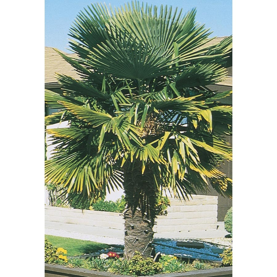 3.74-Gallon Windmill Palm (L5363)